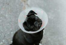 dermatite nel cane