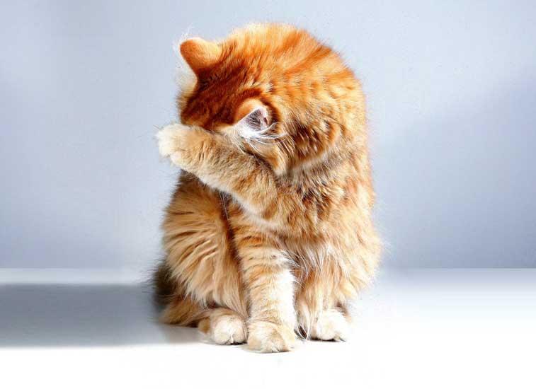 gatto con febbre