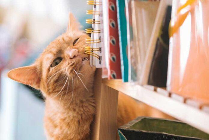 pulci nel gatto
