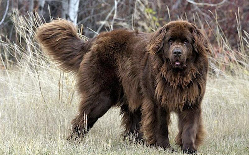 cane di terranova carattere