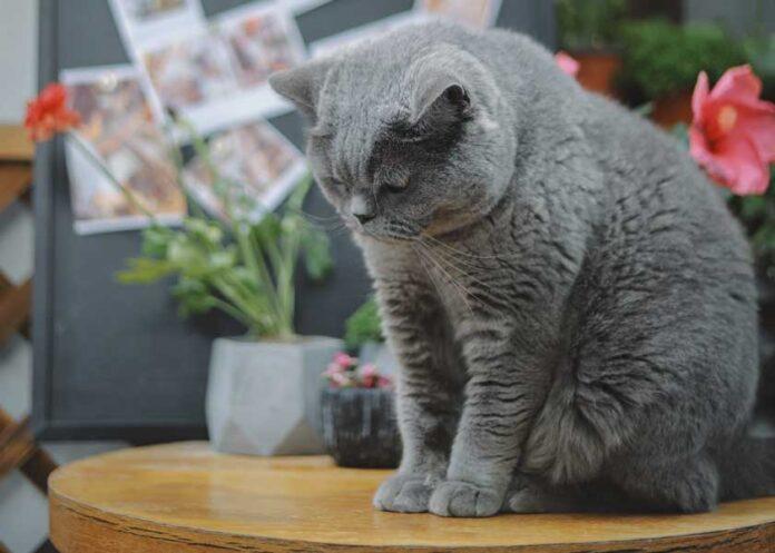 FIP Peritonite infettiva felina