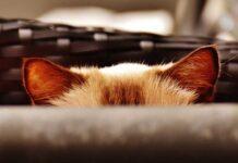 come pulire le orecchie del gatto