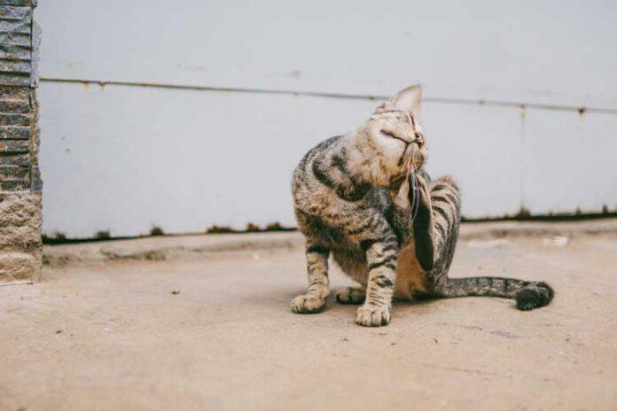 gatto che si gratta sempre