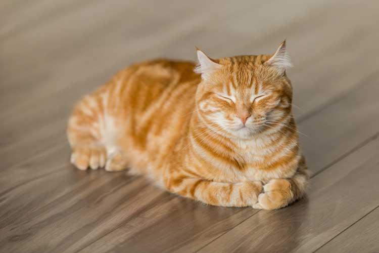 anemia felina