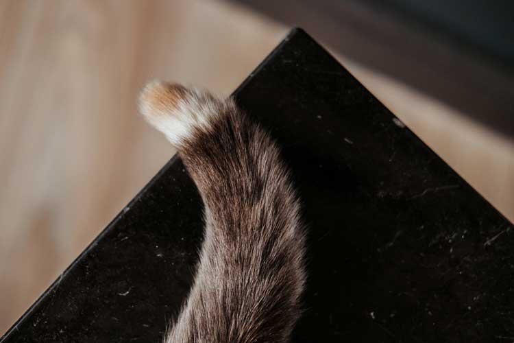 movimenti coda gatto