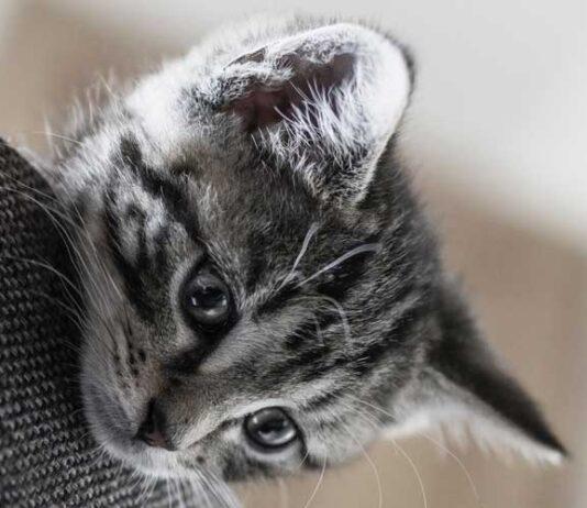 gatto che trema