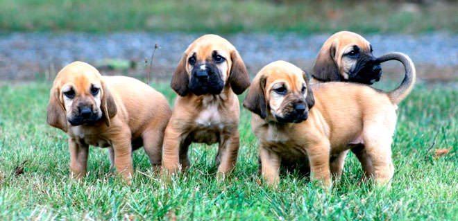 bloodhound allevamento