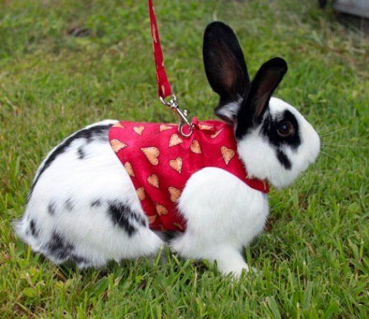 Come addestrare un coniglio al guinzaglio, pettorina per conigli