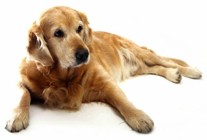 Displasia anca cane labrador