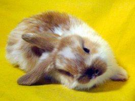 encefalite nel coniglio