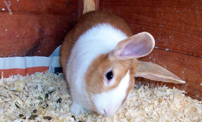encefalitozoonosi coniglio