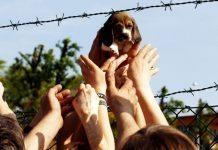 green hill beagle