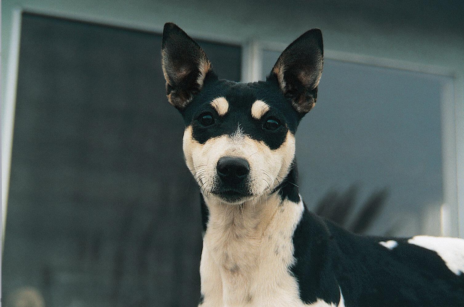 rat terrier dog breed