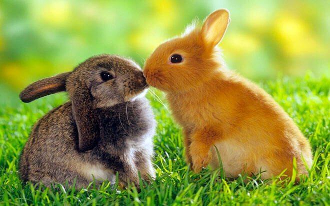 accoppiamento dei conigli