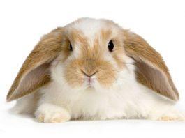 come addestrare un coniglio