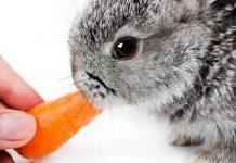 cosa mangiano i conigli nani
