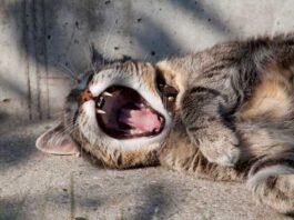 alitosi nel gatto
