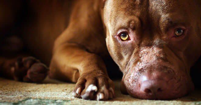 cuccioli american pitbull terrier