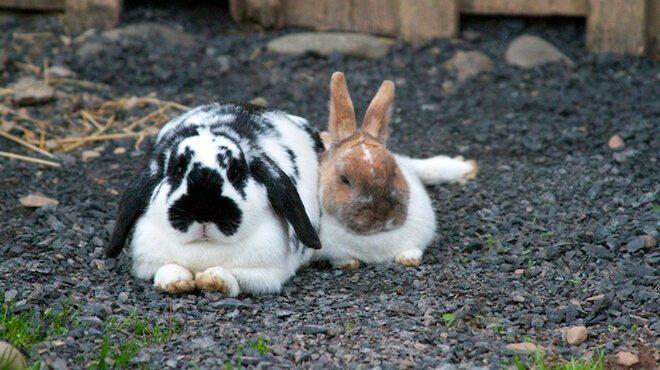 allevamento conigli da compagnia
