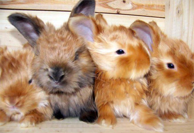 allevamento coniglio angora