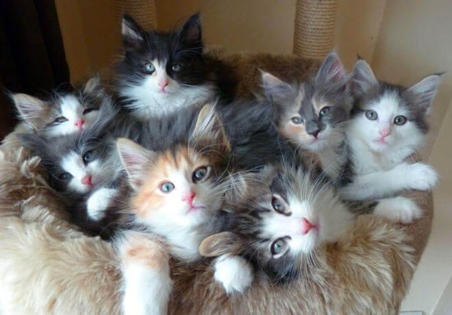 allevamento gatti norvegesi