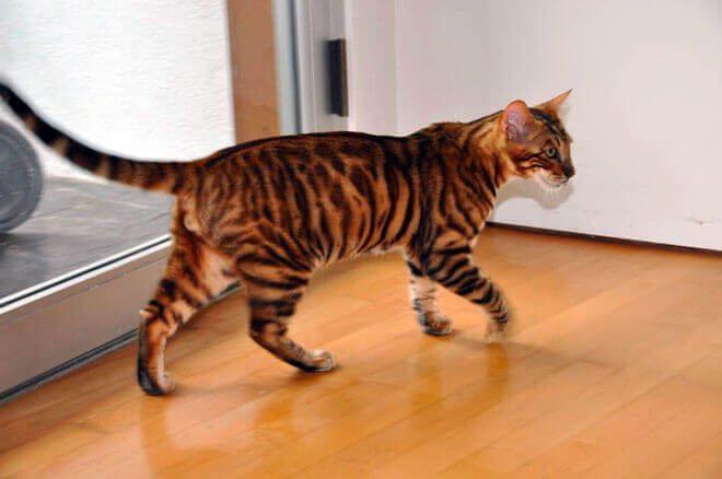 allevamento gatto toyger
