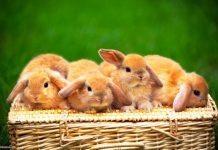 conigli animali familiari