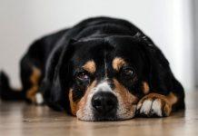 artrite nel cane