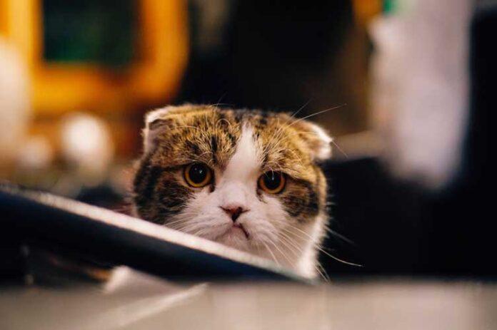 avvelenamento del gatto
