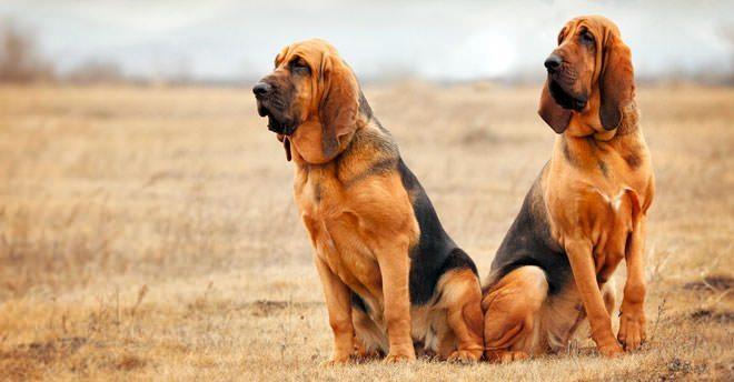 cane di sant uberto