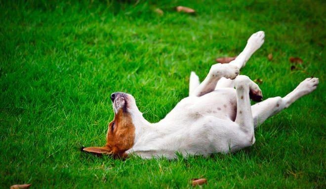 cane che rotola nelle feci