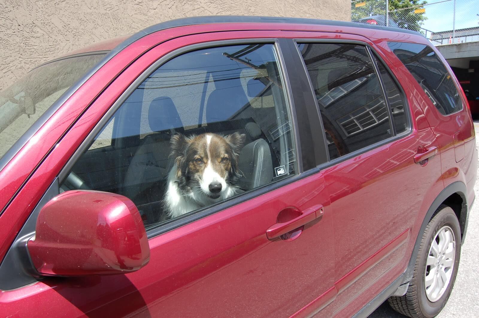 cane chiuso in auto al sole