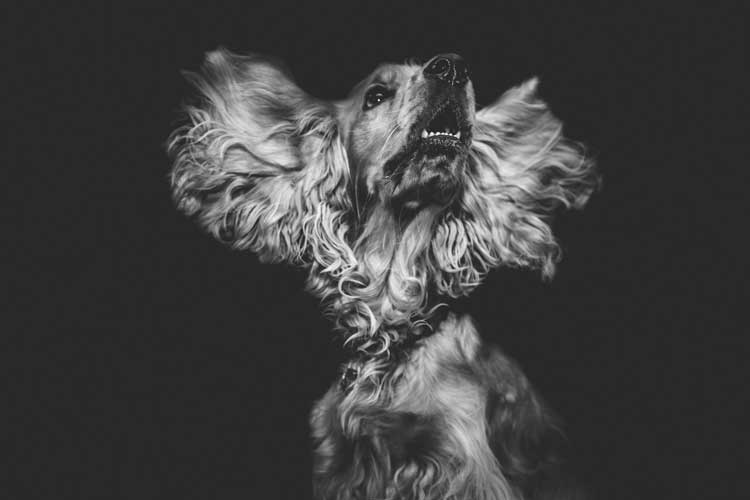 cane con otite