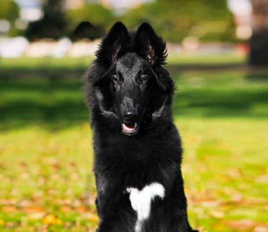 cane da pastore belga groenendael