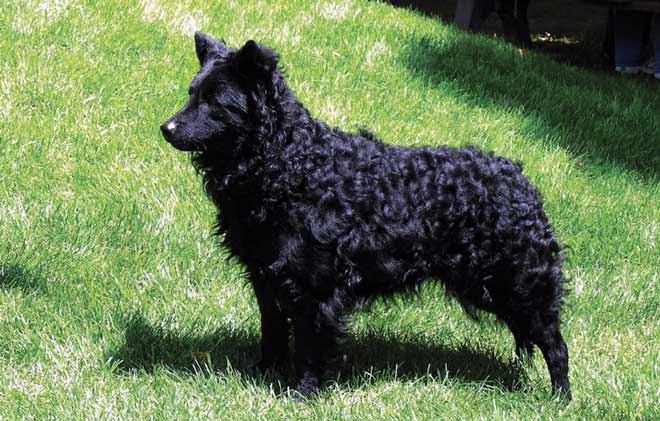 cane da pastore croato