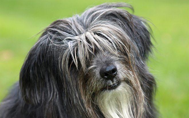 cane da pastore dei pirenei