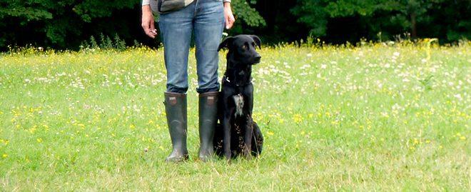 cane da pastore maiorchino