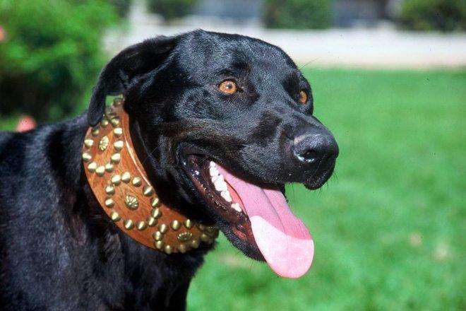 cane da pastore mallorquin