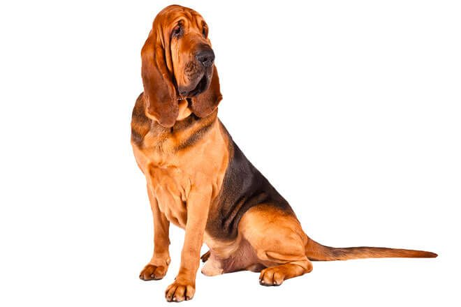 bloodhound carattere