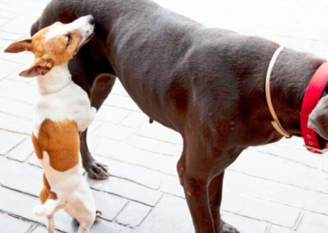 cane maschio in calore
