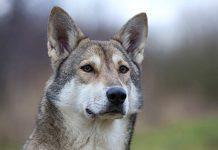 cane lupo di saarloos