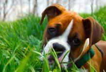 cane mangia erba