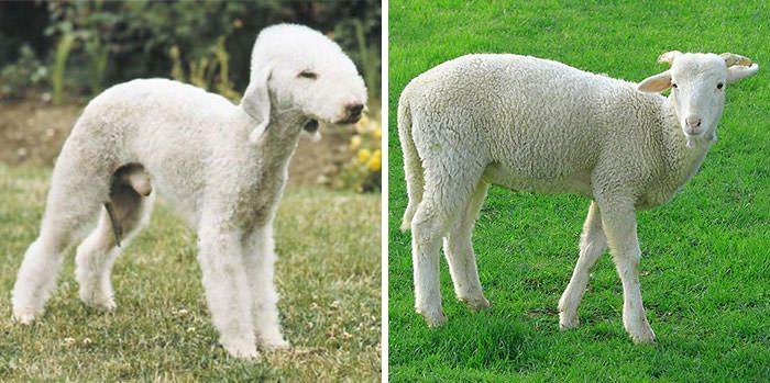 cane pecore