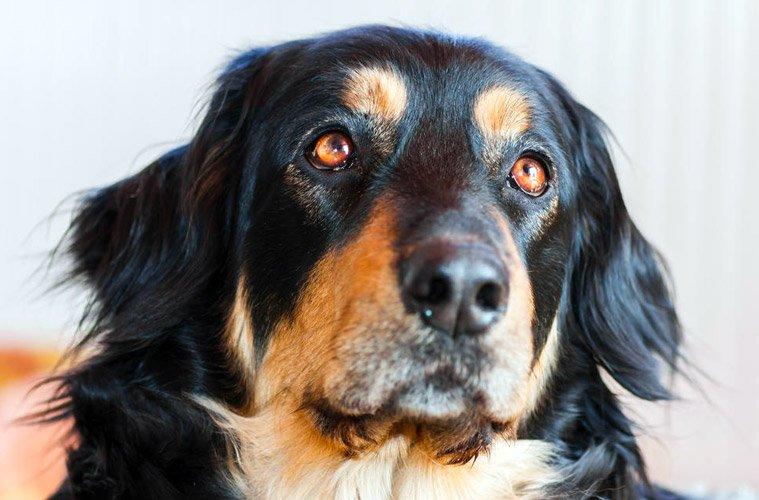 cane tedesco