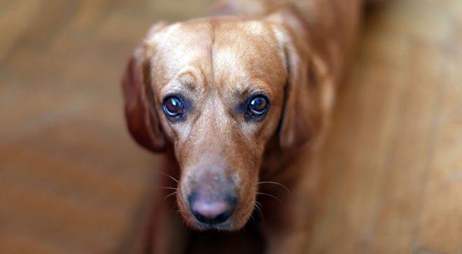 cane vomita giallo