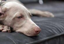 capire se il cane ha la febbre