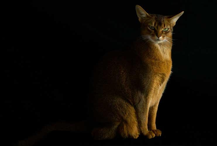 carattere del gatto abissino