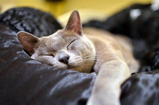 carattere gatto burmese