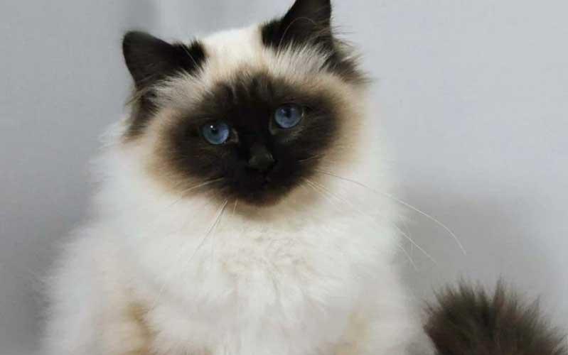 carattere gatto himalayano