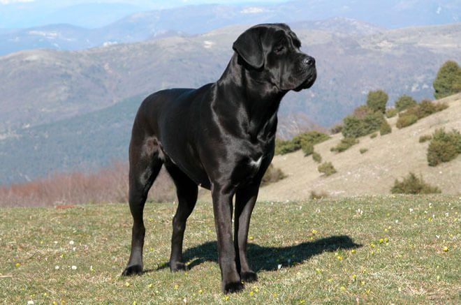 caratteristiche cane corso